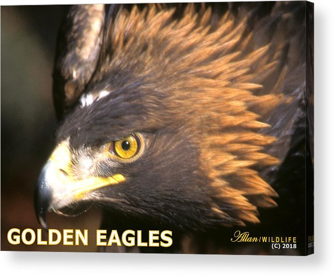 Eagles Acrylic Print featuring the photograph Golden Eagles Mascot 10 by Larry Allan