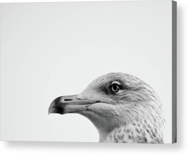Animal Themes Acrylic Print featuring the photograph Seagulls Head by Photography By Stuart Mackenzie (disco~stu)