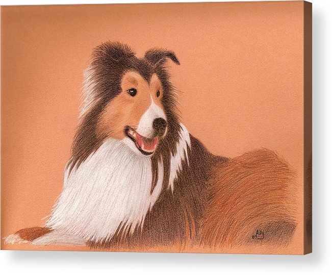 Sheltie Acrylic Print featuring the drawing Morgan by Ally Benbrook