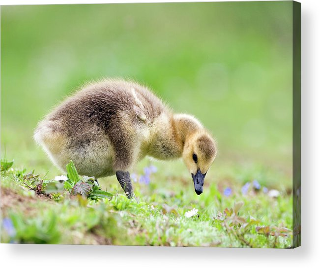 Branta Canadensis Acrylic Print featuring the photograph Canada Goose by John Devries/science Photo Library