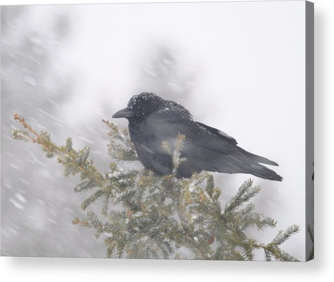 Crow  Wind  Snowstorm Acrylic Print featuring the photograph Blowin' In The Wind - Crow by Sandra Updyke
