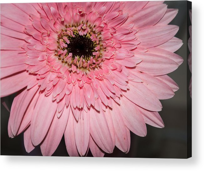 Close Up Acrylic Print featuring the photograph Pink Petals by Jill Mitchell