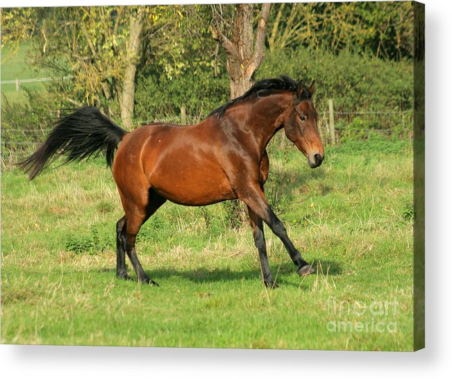 Horse Acrylic Print featuring the photograph Run Run by Angel Ciesniarska