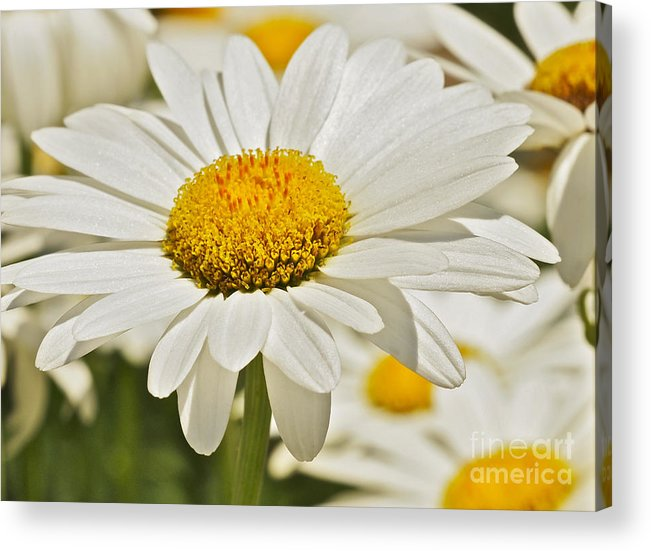 Daisy Acrylic Print featuring the photograph Buttons And Bows by Cheryl Butler
