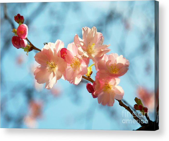 Cherry Acrylic Print featuring the painting Cherry Blossoms IIi by Louise Fahy