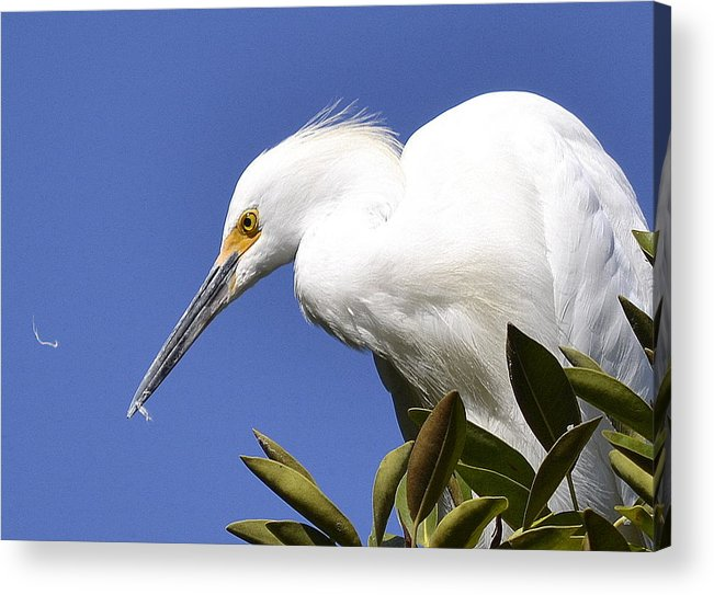 Snowy Egret Acrylic Print featuring the photograph Feathers by Fraida Gutovich