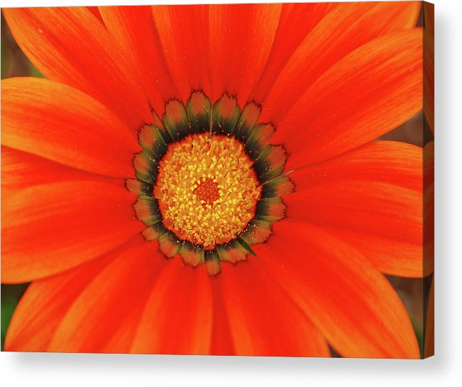 Daisy Acrylic Print featuring the photograph The Beauty Of Orange by Lori Tambakis