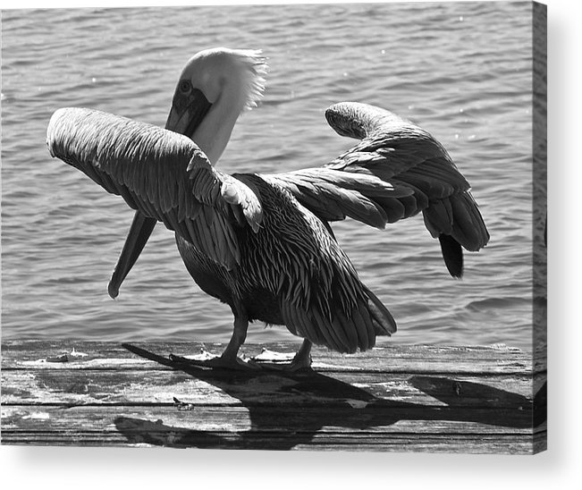 Pelican Acrylic Print featuring the photograph All Clear For Take Off by Bonnes Eyes Fine Art Photography