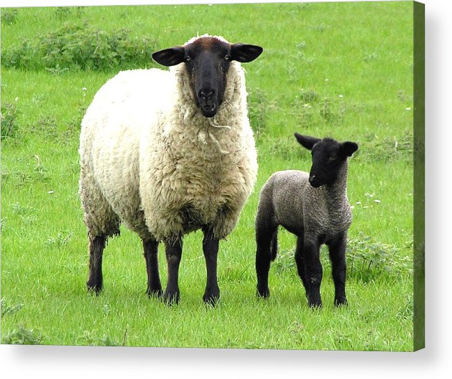 Sheep Acrylic Print featuring the photograph Baa Baa by Jeanette Oberholtzer