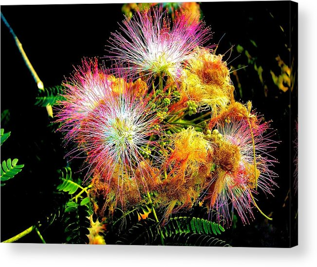 Nature Acrylic Print featuring the photograph Care For A Mimosa by Johann Todesengel