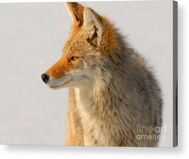 Coyote Acrylic Print featuring the photograph Coyote by Dennis Hammer