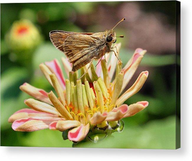 Butterfly Acrylic Print featuring the photograph Dusky Skipper On New Zinnea by Scott Bricker