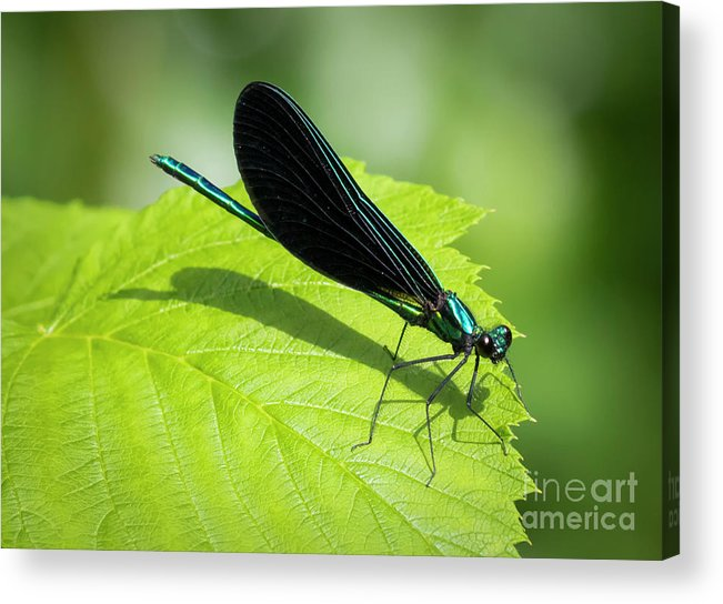 Canon Acrylic Print featuring the photograph Ebony Jewelwing by Ricky L Jones