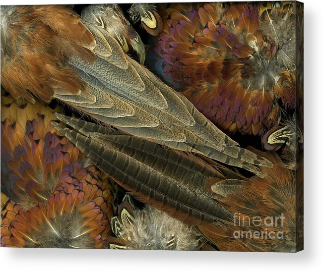 Pheasant Acrylic Print featuring the photograph Featherdance by Christian Slanec