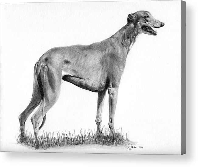 Dog Acrylic Print featuring the drawing Greyhound by Karen Townsend