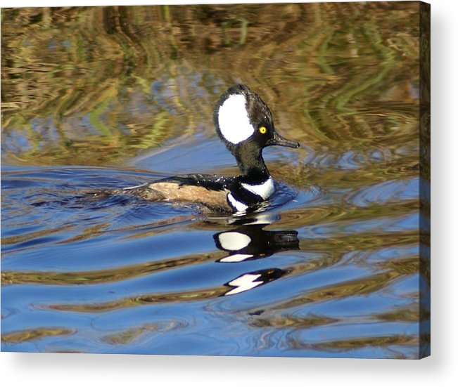 Duck Acrylic Print featuring the photograph Hooded Mersanger by Debbie May