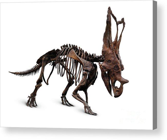 Horned Dinosaur Skeleton Acrylic Print