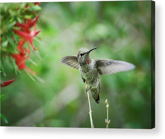 Hummingbird Acrylic Print featuring the photograph Just Hummin' Along by Saija Lehtonen