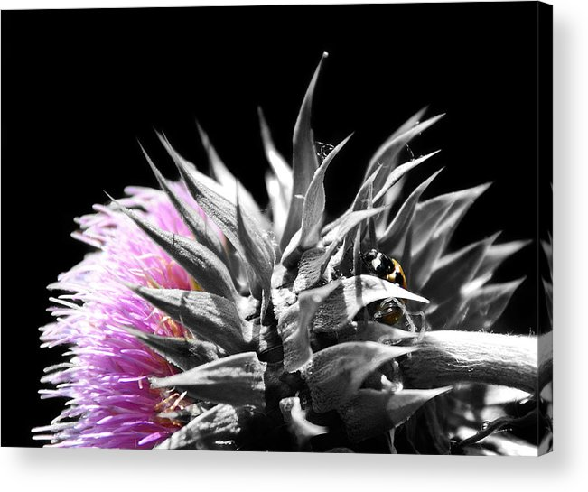 Thistle Acrylic Print featuring the photograph Lady Bug Thistle by Karl Manteuffel