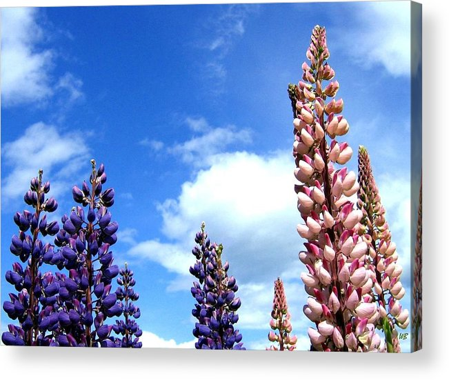 Lupins Acrylic Print featuring the photograph Lupins by Will Borden