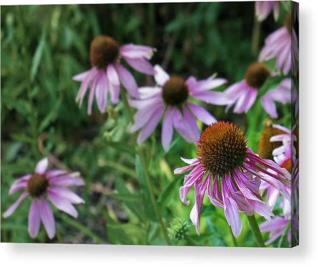 Flowers Acrylic Print featuring the photograph Purple Coneflowers by Mg Blackstock