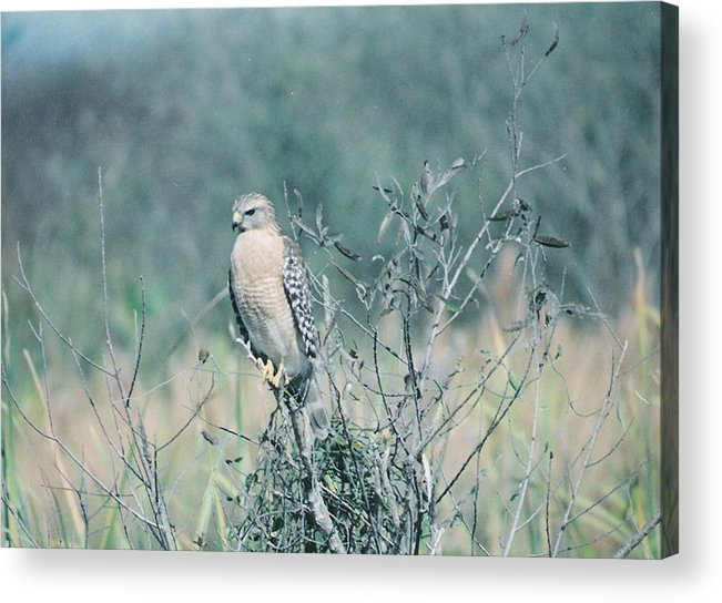 Animal Acrylic Print featuring the photograph Red Shouldered Hawk by Cindy Gregg