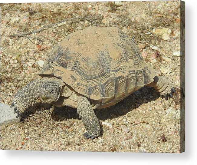 Desert Tortoise Acrylic Print featuring the photograph Where's The Snacks by Sandra O'Toole