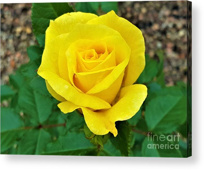 Yellow Acrylic Print featuring the photograph Yellow Rose by Jessica T Hamilton