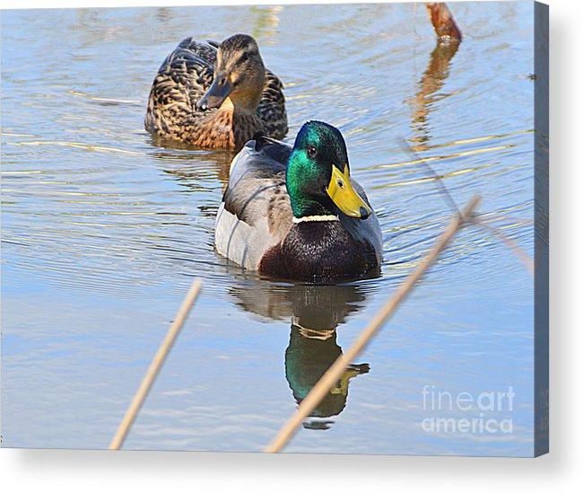 Mr And Mrs Duck Acrylic Print featuring the photograph Mr And Mrs Duck by Andy Thompson