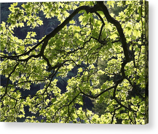 Background Acrylic Print featuring the photograph Backlit Tree by Steve Ball
