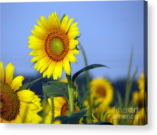 Sunflower Acrylic Print featuring the photograph Getting To The Sun by Amanda Barcon
