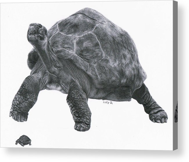 Giant Tortoise Acrylic Print featuring the drawing Giant Tortoise by Lucy D