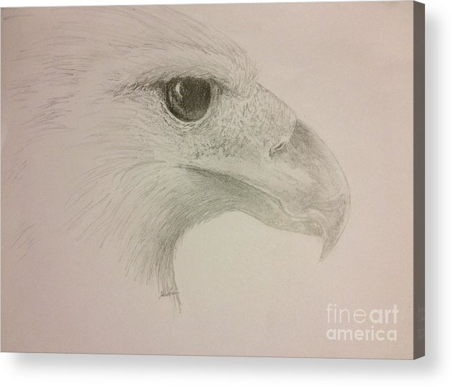 Harpy Eagle Acrylic Print featuring the drawing Harpy Eagle Study by K Simmons Luna