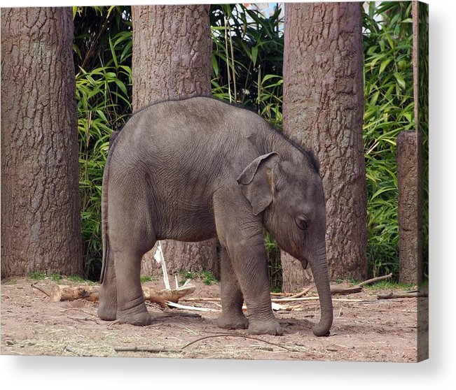 Elephant Acrylic Print featuring the photograph Lonesome by Susan Tinsley