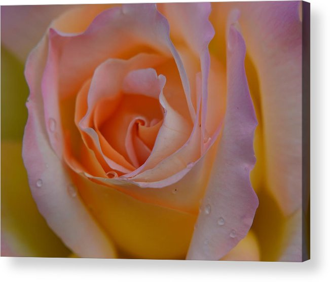 Rose Acrylic Print featuring the photograph Peachy by Jeri lyn Chevalier