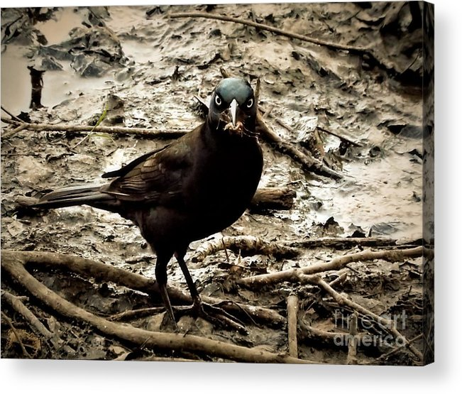 Marsh Acrylic Print featuring the photograph Really It Is Mine- Says The Grackle Bird by Christy Ricafrente