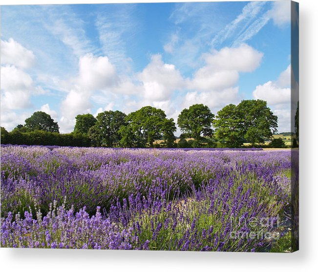 Landscape Acrylic Print featuring the photograph Ripening English Lavender In Hampshire by Alex Cassels