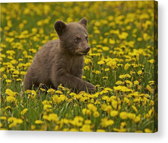 Bear Acrylic Print featuring the photograph Teddy by Jack Milchanowski