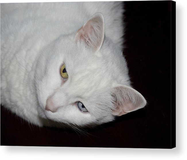 Cat Acrylic Print featuring the photograph White Cat by Joyce Wasser