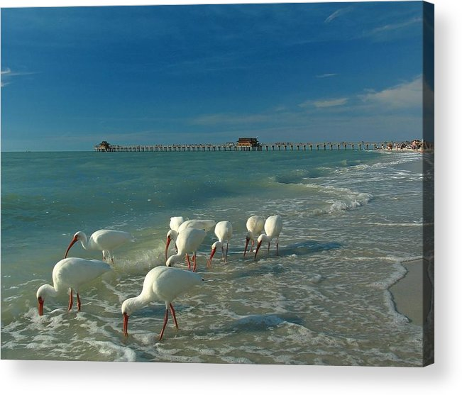 Florida Acrylic Print featuring the photograph White Ibis Near Historic Naples Pier by Juergen Roth