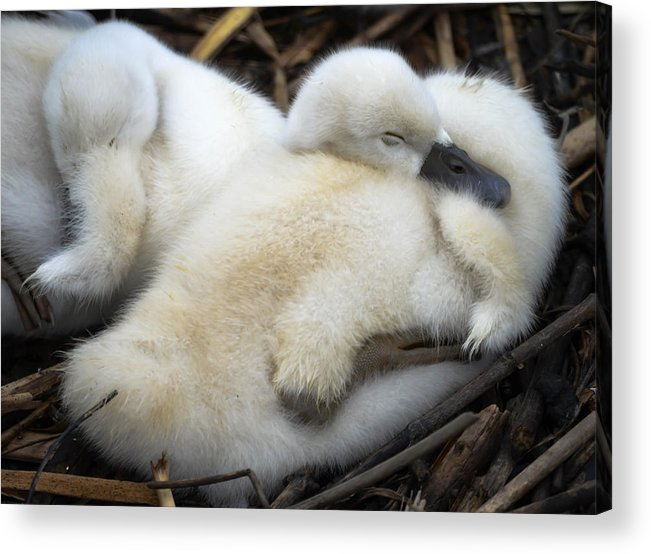 Acrylic Print featuring the photograph Cygnet by Brian Stevens