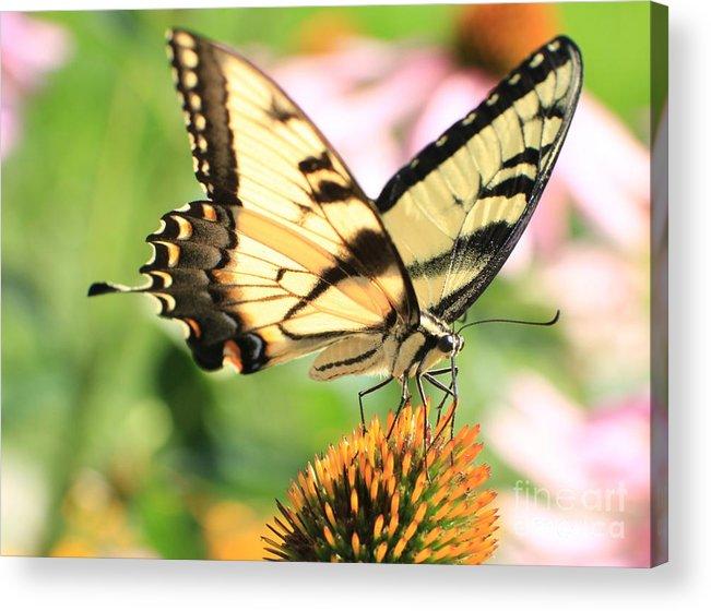 Swallowtail Butterfly Acrylic Print featuring the photograph Tiger Swallowtail Butterfly by Krista Kulas