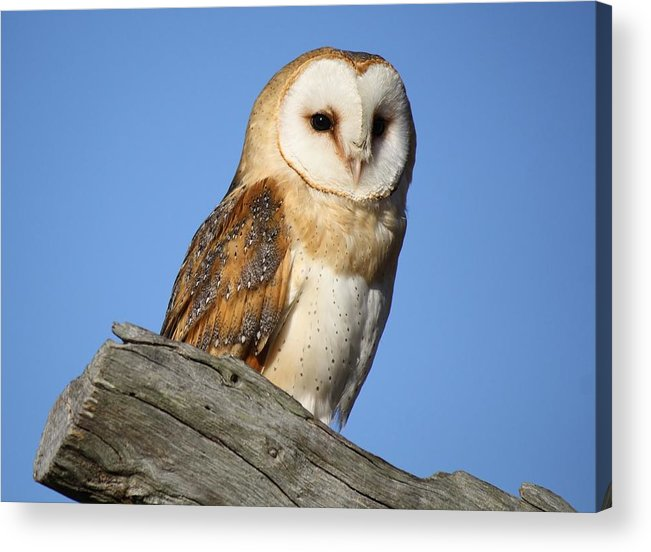 Owl Acrylic Print featuring the photograph Barn Owl by Paulette Thomas
