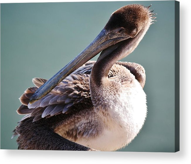 Brown Pelican Acrylic Print featuring the photograph Browm Pelican Up Close by Paulette Thomas