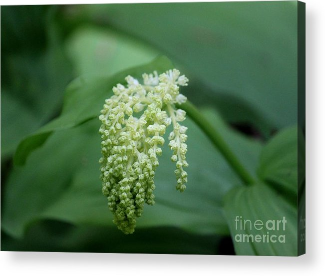 Plant Acrylic Print featuring the photograph False Solomons Seal Maianthemum Racemosum by Erica Hanel
