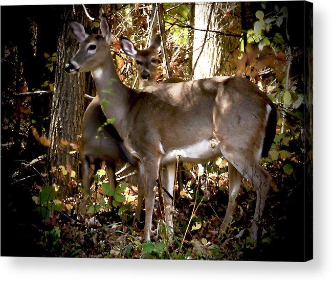 Deer Acrylic Print featuring the photograph Graceful Beauty by John Graham