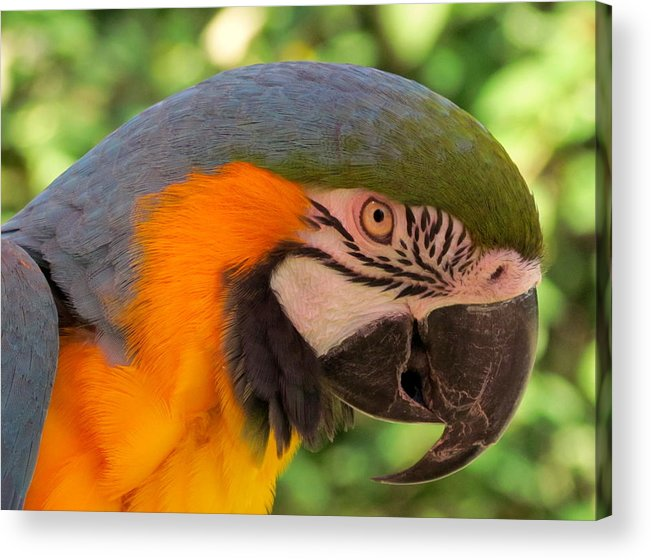 Parrot Acrylic Print featuring the digital art Here's Looking At You by Rachel Katic