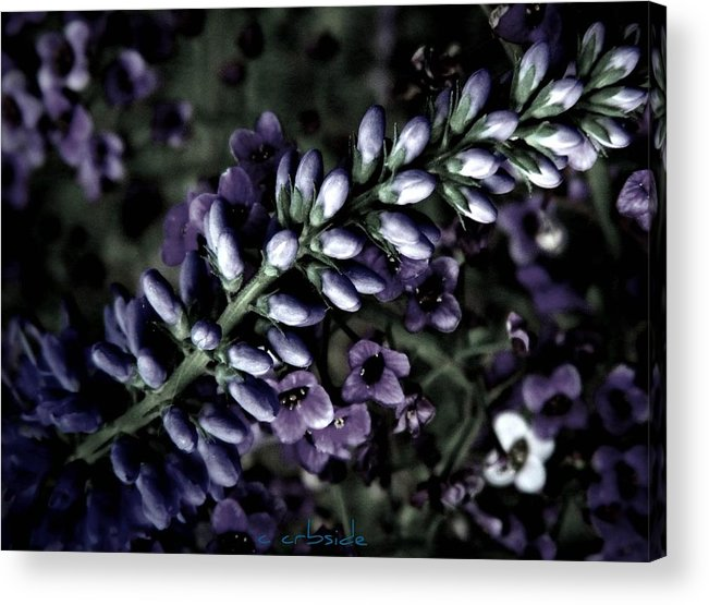 Veronica Acrylic Print featuring the photograph Pastel Veronica by Chris Berry