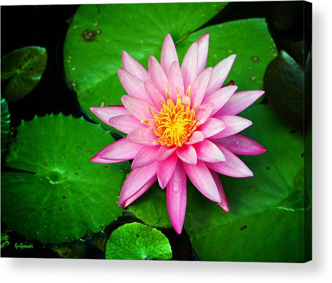 Water Lily Acrylic Print featuring the photograph Pink Nymphaea by Lisa Spencer
