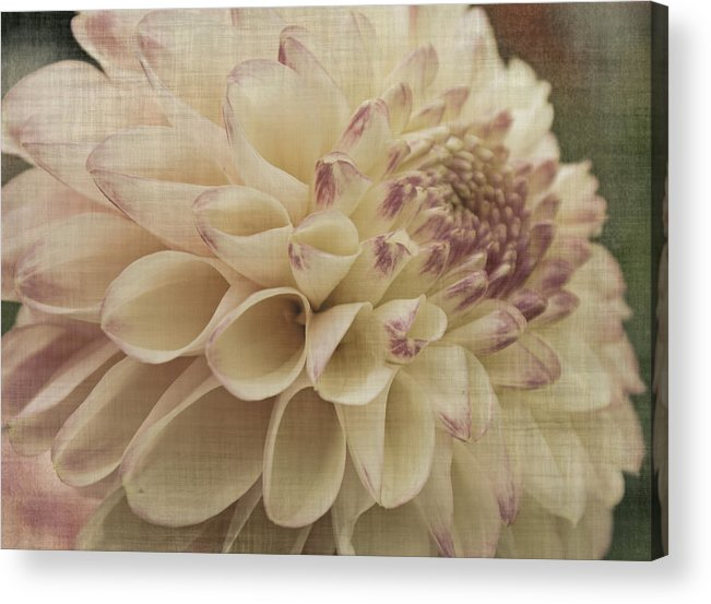 Dahlia Acrylic Print featuring the photograph Soft Lady by Terrie Taylor